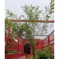 早园竹,刚竹,金镶玉竹,四季青竹
