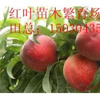出售营养体桃树苗