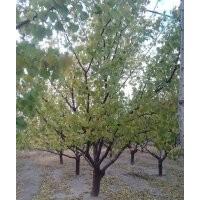 山杏树 10-20cm山杏