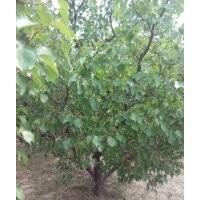 常年供应山杏树