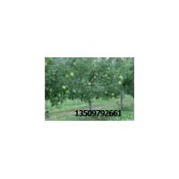 苗圃应急出售2-6公分苹果树
