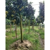 江西省南昌市哪里有嫁接红心柚,马家柚,沙田柚果树卖?