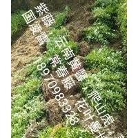 南昌迎春花小苗,江西省云南黄馨价格,南昌迎春苗农民专业合作社