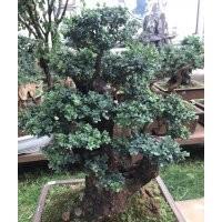 出售黄杨老树桩