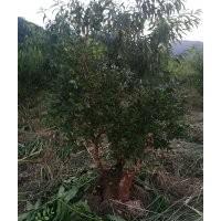 出售百年瓜子黄杨树桩