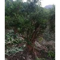 出售百年下山瓜子黄杨老树桩