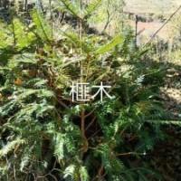云南名贵树种苗:榧木,红豆杉,桂花,万年青,山茶等。