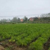 铜仁湿地松_毕节湿地松苗供应-随州希望苗圃