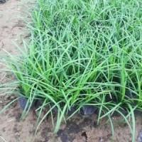 麦冬草4-10芽(盆)北京大苗圃基地购树木市排价