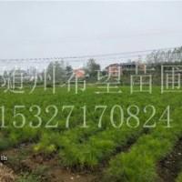 浙江湿地松_杭州湿地松苗供应-随州希望苗圃