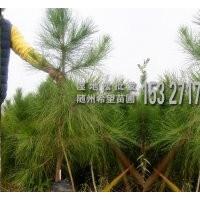 100-130cm湿地松营养杯苗供应-种植基地直发