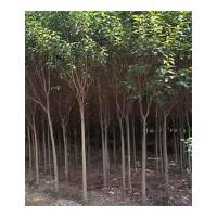 供应3-30公分国槐树 刺槐树