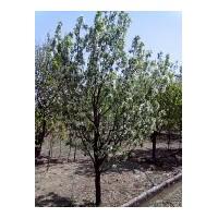 八棱海棠树 原产地直供 你想象不到的价格