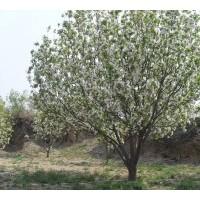 八棱海棠 中国好海棠 富贵吉祥树