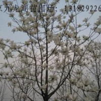 供应雪松。红叶石楠。大叶女贞。马褂木。紫花泡桐