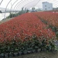 长期出售绿化苗木,红叶石楠