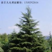 供应雪松。红叶石楠。广玉兰。马褂木。栾树