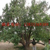 78公分八棱海棠古树