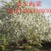 八棱海棠树 有极高的观赏价值