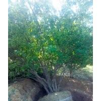 丛生八棱海棠树
