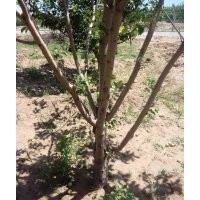 移栽海棠树