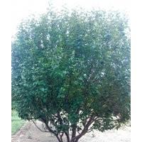 20公分丛生八棱海棠树
