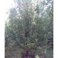 13-15公分京红海棠树