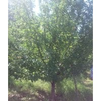 金玉苗木长期供应京红海棠树