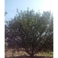 金玉苗木常年出售八棱海棠树