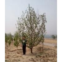 12公分假植八棱海棠树