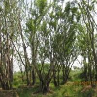 丛生朴树价格丛生朴树产地价格