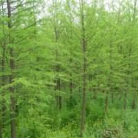 10公分水杉价格15公分水杉价格20公分水杉价格