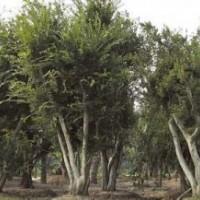 30公分全冠多杆丛生朴树价格.杆径50公分朴树价格