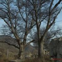 安徽榔榆树价格苗圃移植30公分榔榆树报价
