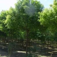香樟价格:杆径15公分香樟价格移植20公分香樟价格