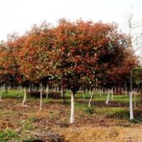 红叶石楠树杆径3公分价格8公分高杆红叶石楠价格