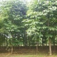 南京七叶树价格 3-5-8公分七叶树价格