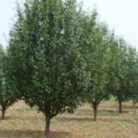 12公分八棱海棠树