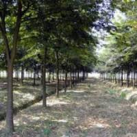 提供榉树价格 10公分15公分20公分榉树价格