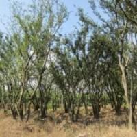 移植精品朴树价格 15公分20公分25公分朴树报价
