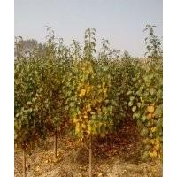 3公分八棱海棠树