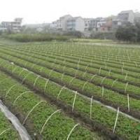 当年白玉兰芽苗价格.白玉兰芽苗产地.现在白玉兰芽苗价格