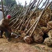 江苏栾树价格 供应10公分12公分15公分栾树价格