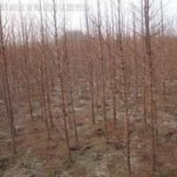 提供水杉价格 精品8公分10公分12公分15公分水杉价格