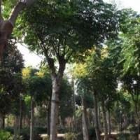 大量供应10公分优质栾树基地