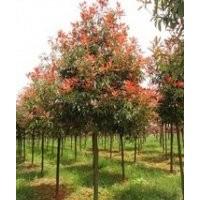 当年高杆5公分6公分红叶石楠价格,当年红叶石楠小苗价格