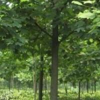 最新8公分10公分马褂木价格 南京马褂木价格