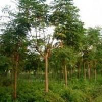最新5公分6公分7公分8公分栾树价格 栾树产地