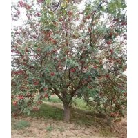 20公分八棱海棠树