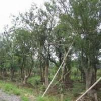 苗圃销售20公分朴树价格 26公分朴树价格 南京朴树产地